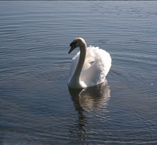 Swans Beautiful photos of beautiful creatures.
