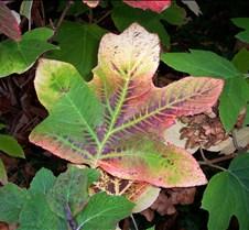 varigated_leaf