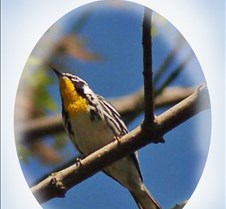 Yellow-throated_Warbler_In_tree_canopy