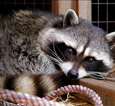 031904 Raccoon Ruby 07