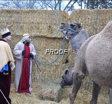 live nativity-Kings & Camels