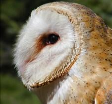 031504 Barn Owl Petrie 82