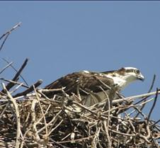 Osprey 13