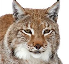 010204 Eurasian Lynx Nikki 102