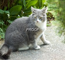 GREY CAT grey cat