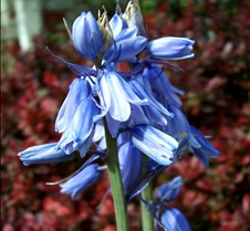 unidentified blue flowers 2