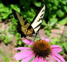 yellowswallowtailonechinacea