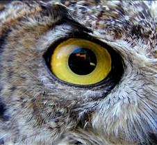031504 Great Horned Owl 94