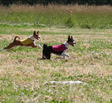 Basenjis_8Jul_Run1_Course3_3993CR2