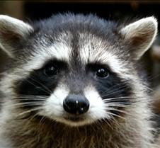 072402 Raccoon Juvenile 130 MK