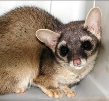 122904 Ring Tailed Cat 97