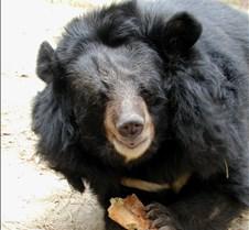 110602 Asian Bear 120