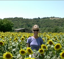 Tuscan Sunflowers (close)
