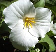 largefloweredtrillium