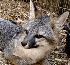 091102 Gray Fox Juvenile 87