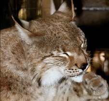 103002 Eurasian Lynx 56