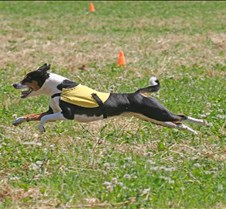 Basenjis_8Jul_Run1_Course2_0417CCR2