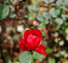 A rose in Ireland