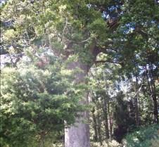 Kauri-tree-nz