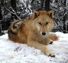 010204 Wolves Spirit 56