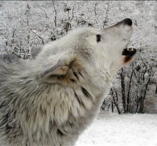 010204 Wolves Tsar 69b