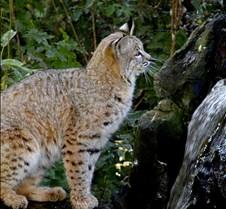 102403 Bobcat Rufus 256
