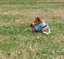 Basenjis_8July_BOB_Runoff__5442CR