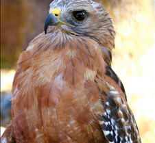 101703 Red Shouldered Hawk 191