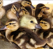 042304 ducklings and gosling 69