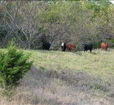 2004 11 09 Heifers, Fixing Fence, and Wheat