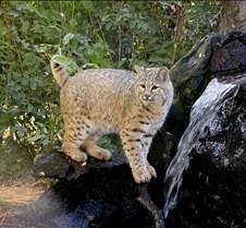 102403 Bobcat Rufus 262