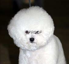 Bichon Frise 13