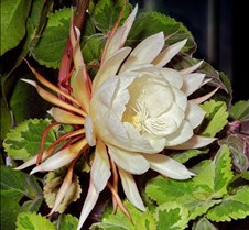 Night Blooming Cirus