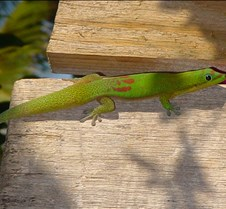 060804, Day Gecko