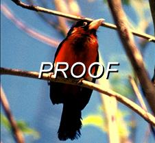 Red Bird (3)