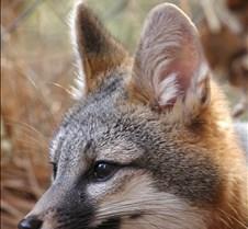 112004 gray fox carson 65