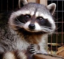031904 Raccoon Ruby 06