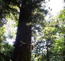 One of the oldest trees on Takao 2