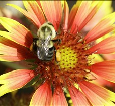 bumble bee 001.jpg