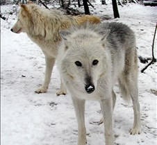 010204 Wolves Tsar Lakota 24