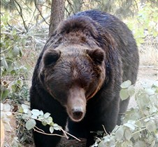 101602 Grizzly/brown Bear Male 04