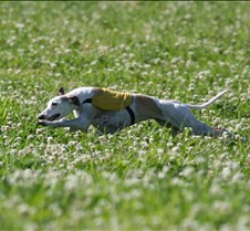 Whippets_7July_Run2_9607CR