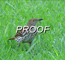 Brown Thrasher_Grass