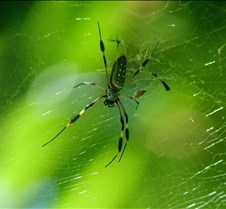 MA_spider