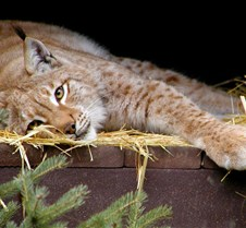 120404 Eurasian Lynx Nikki 51