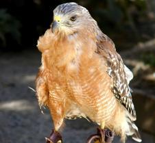 091703 Red Shouldered Hawk 185