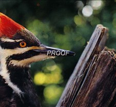 woodpecker_ch