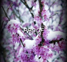 Icy Redbud Blooms  021