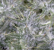 Iced thistle