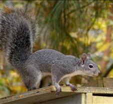 111704 Gray Squirrel 29